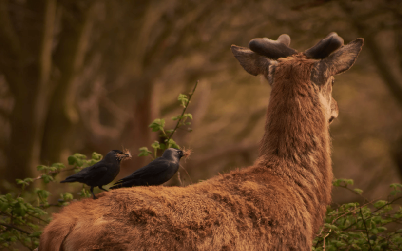 Horned deer turned away from the camera with two small black birds with fur in their peaks.